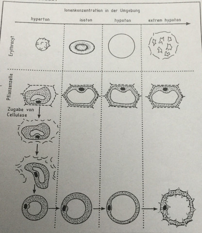 Abbildung  - (Schule, Biologie, Osmose)
