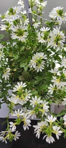 Was sind das   für Blumen?