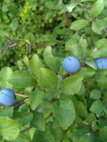 Was sind das für Beeren und kann man die verzehren oder lieber nicht?