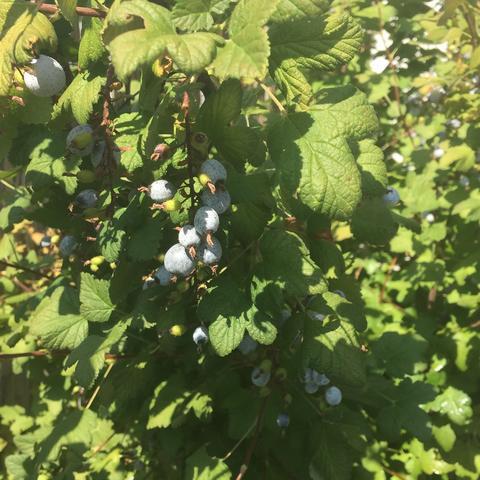 Was sind das für Beeren?