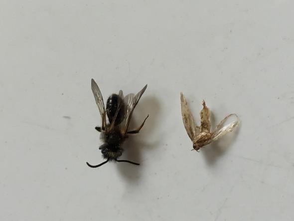 was sind das f r fliegende insekten fliegende insekten. Black Bedroom Furniture Sets. Home Design Ideas