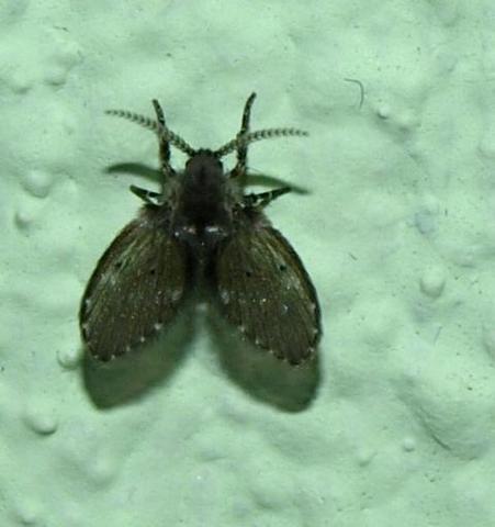Was sind das f r insekten welche fliegenart fliegen for Kleine fliegen in der wohnung