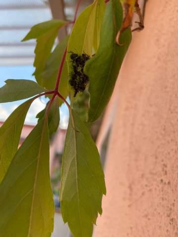 Was sind das für Insekten auf meinen Balkon?