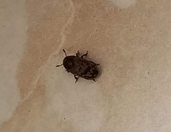 Was sind das für Käfer an meinem Fenster?