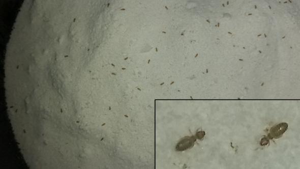 Merkwürdige Mehl Ameisen - (Schädlinge, Vorrat, Mehlkäfer)