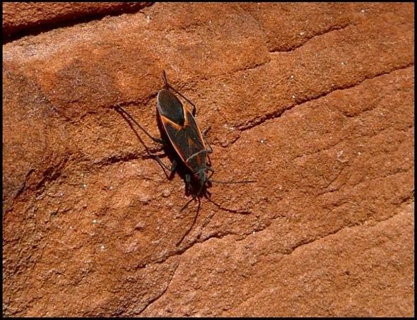 was sind das f r k fer wanzen tiere natur insekten. Black Bedroom Furniture Sets. Home Design Ideas