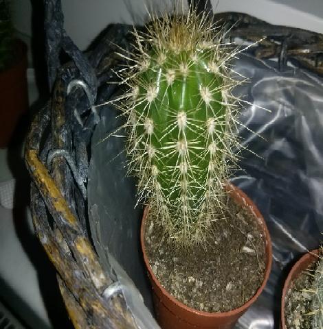 Kaktus 3 - (kaktus, kaktus Arten)
