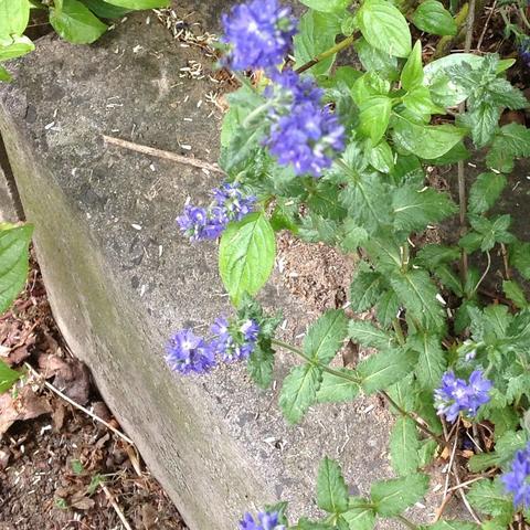 Was sind das für kleine Blumen in meinem Garten? (blau, lila)
