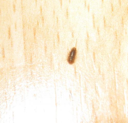 was sind das f r kleine k fer insekten kaefer. Black Bedroom Furniture Sets. Home Design Ideas