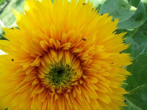 Sonnenblume mit Käfer - (Garten, Käfer, Sonnenblume)