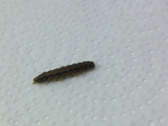 was sind das f r larven die ich fters in meiner wohnung finde siehe bild insekten k fer. Black Bedroom Furniture Sets. Home Design Ideas