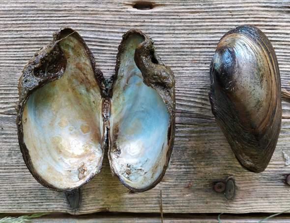 Was sind das für Muscheln?
