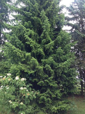 #1 - (Baum, nadel, Nadelbaum)