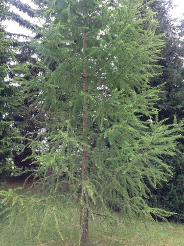 #2 - (Baum, nadel, Nadelbaum)