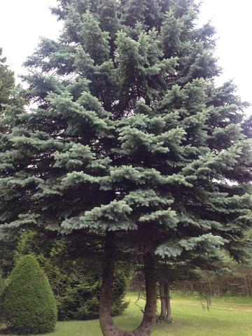 #3 - (Baum, nadel, Nadelbaum)
