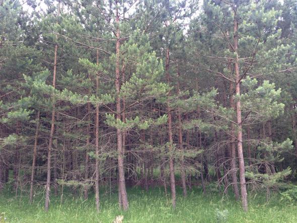 #4 - (Baum, nadel, Nadelbaum)