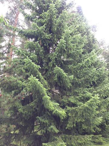 #5 - (Baum, nadel, Nadelbaum)