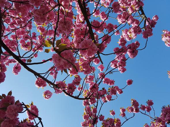 Was sind das für rosa blühende Bäume (siehe Bilder)?