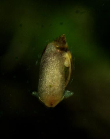 Wasserschnecke von Unten - (Aquarium, Schnecken, Wirbellose)
