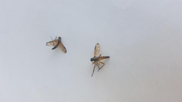 Kleine Fliegen Die Stechen