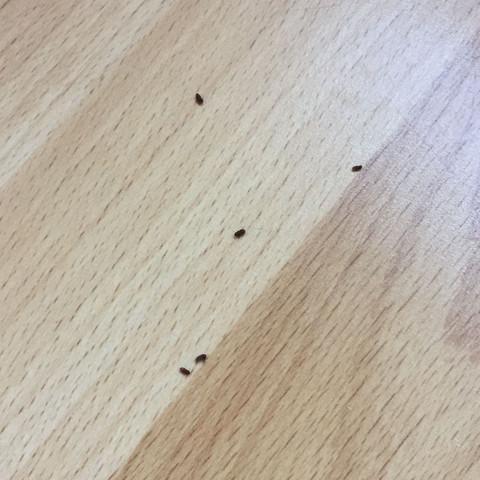 Käfer auf dem Boden  - (Tiere, Käfer, Schwarze Käfer)