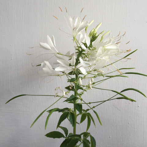 Was sind das für weisse Blumen? (Garten, Pflanzen, Botanik)