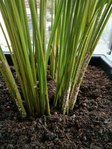 was sind das f r wei e punkte auf meiner pflanze pflanzen gr n palme. Black Bedroom Furniture Sets. Home Design Ideas