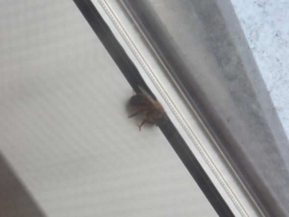 Hervorragend Was soll ich wegen dieser Biene machen? (Fenster, Bienen, Wespen) FY28