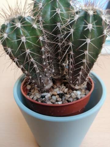Was stimmt mit meinem kaktus nicht??