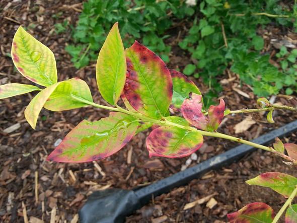 Was tun gegen kranke bl tter krankheit garten pflanzen - Was kann man gegen marder tun im garten ...