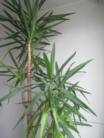 yucca2 - (Pflanzenpflege, Zimmerpflanzen, yucca-palme)