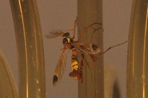 Bild - (Insekten, Gattung)
