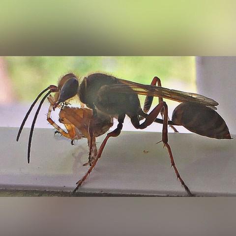 dasda. - (Tiere, Insekten, Bienen)