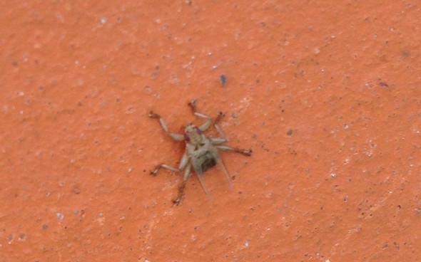 Spinnenechsenfliege - (Tiere, Haus, Garten)