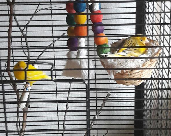 1. Kanarienvogel: ganz Gelb. 2. ist gelb,braun,gelber Fleck(keine haube)   - (Art, kanarienvogel)