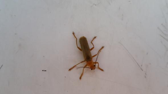 Bild 1 - (Tiere, Käfer, Ungeziefer)