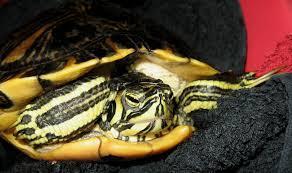 Mini Kühlschrank Für Schildkröten : Wasserschildkröte ein traum schildkröten