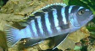 Wasserschildkr ten und fische zusammen im aquarium for Malawi buntbarsch