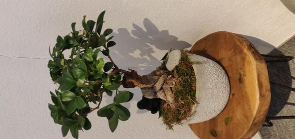 wei hei t diese pflanze und warum verliert sie bl tter pflanzen bonsai ficus. Black Bedroom Furniture Sets. Home Design Ideas