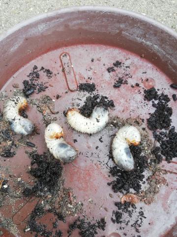 weiche larven sind das tiere garten sch dlinge. Black Bedroom Furniture Sets. Home Design Ideas