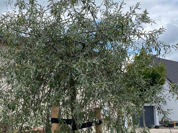 Weidenblättrige Birne - Rinde löst sich - was ist das?
