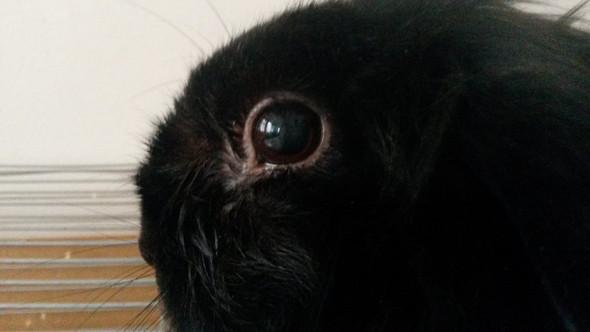 Hier das Auge - (Krankheit, Kaninchen)