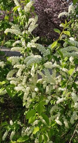 Weiß blühender Strauch. Welche Pflanze ist das?