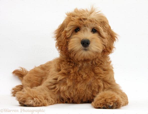 Goldendoodle - (Tiere, Hund, Goldendoodle)