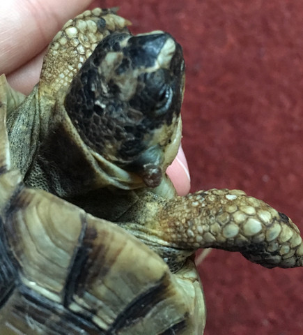 Weiß jemand was das am Kopf meiner Schildkröte sein könnte ?