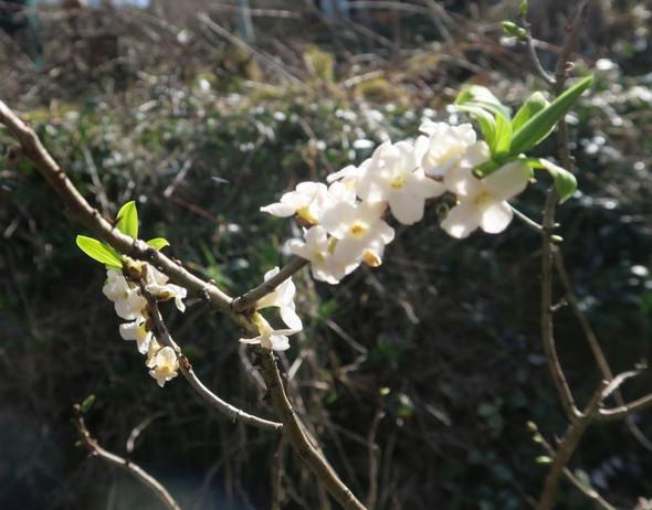 Weiss jemand was das für ein Baum/Strauch mit weißen Blüten ist?