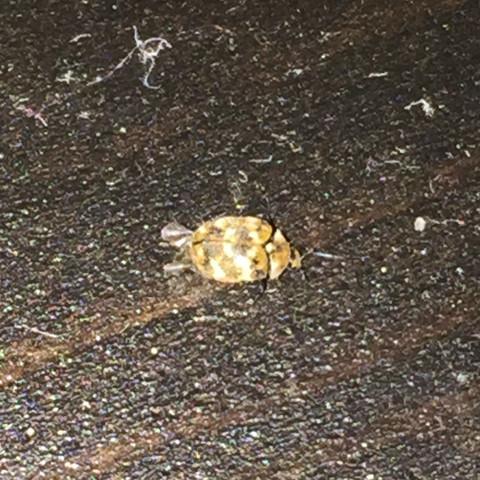 Seltsamer Käfer  - (Insekten, Kaefer, Schädlinge)