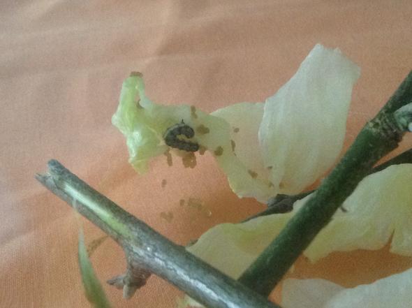 Raupe - (Insekten, Raupen Art)