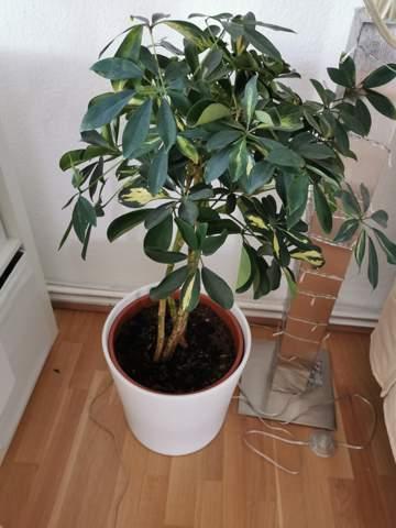 Weiß jemand was das für eine Pflanze ist, Zimmerpflanze?
