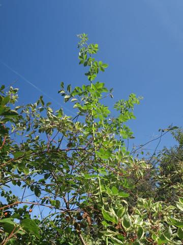 rose1 - (Biologie, Garten, Pflanzen)